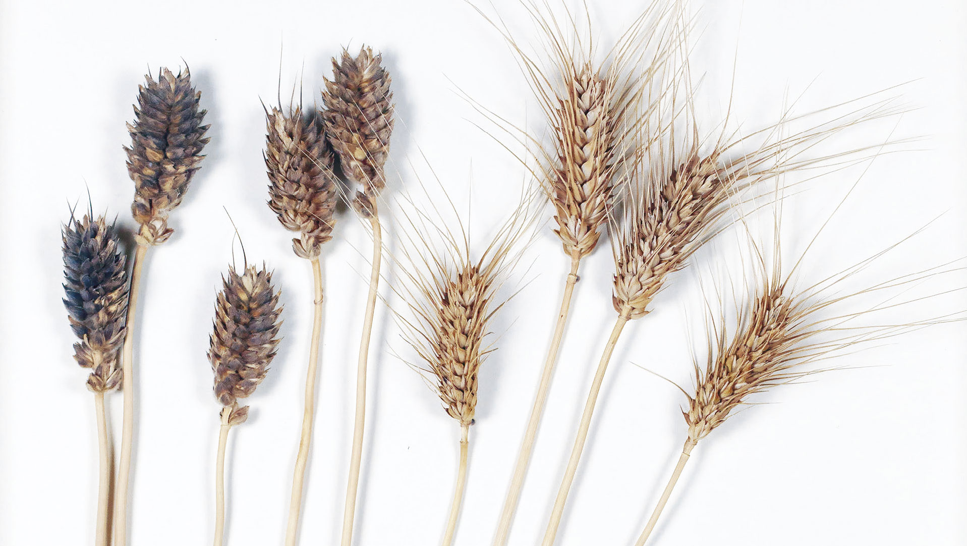 Memory: Getreidevielfalt